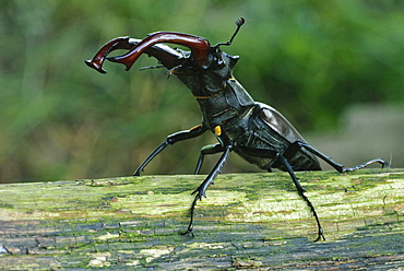 European stag beetle male stag beetle on branch portrait