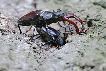 European stag beetle mating male and female stag beetle on bark portrait