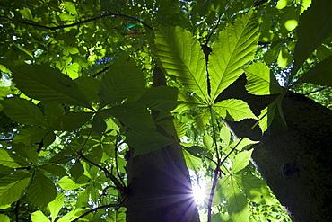 horse chestnut horse chestnut leafs in spring Uckermark Brandenburg Germany