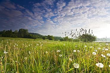 dandelion dandelion hairy seedheads growing on meadow Germany