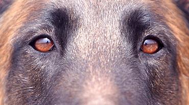 Belgian shepherd dog Belgian shepherd dog head eyes portrait close up view