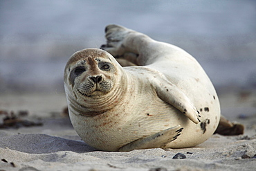 common seal or harbour seal common seal lying in sand on the beach portrait Helgoland North Sea Germany