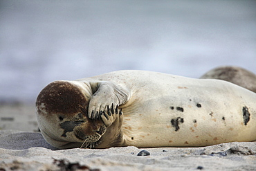 common seal or harbour seal common seal lying scratching in sand on the beach portrait Helgoland North Sea Germany