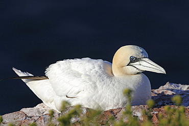 Northern gannet or booby Northern gannet sitting on rock portrait Animals Helgoland North Sea Germany