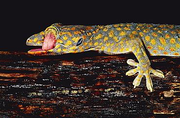 tokay gecko Asia