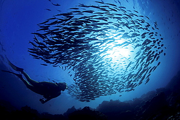 black-striped salema diver and schooling salema Galapagos Islands - 869-2329