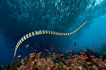 banded sea snake or banded sea krait sea krait venomous sea snake above coral reef Malaysia Asia
