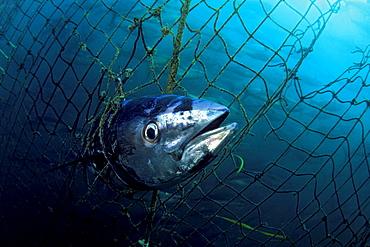Southern bluefin tuna a dead bluefin tuna caught in a tuna pen of a fish farm are offshore of Port Lincoln South Australia