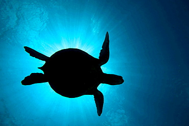 green turtle or green sea turtle sea turtle silhouetted against the sun and sky coming through the surface Sipidan Malaysia Asia