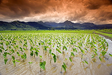 afternoon threatening clouds hang over a Hanalei taro field on Kauais northshore Hawaii USA