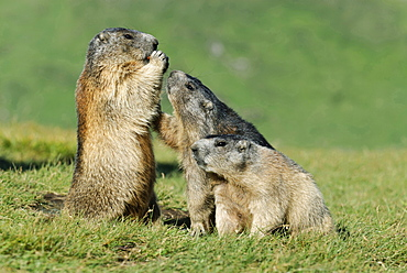 Alpine marmot Alpine marmots sitting eating on meadow behavior portrait Heiligenblut National Park Hohe Tauern osterreich
