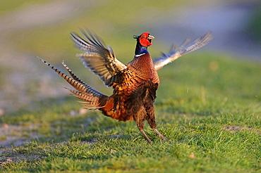 ring-necked pheasant pheasant in mating season portrait behavior