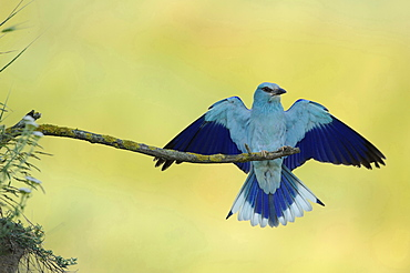 common roller roller male perched on branch spreading wings Bulgaria