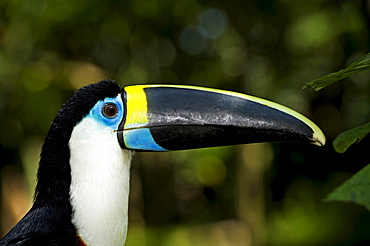 white-throated toucan portrait side view Peru South America Animals
