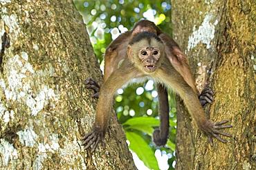 white-fronted capuchin monkey on tree front view Amazon basin Peru South America Animals