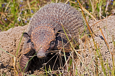 six-banded armadillo between mound of earth front view Pantanal Brazil South America Animals