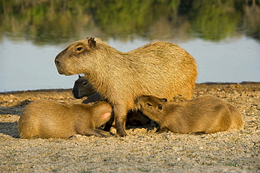 capybara dam suckling young animals side view Brazil South America Animals