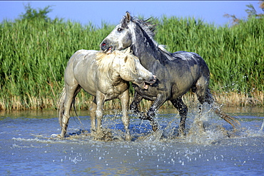 Camargue horse male horses fighting in ocean water Saintes-Maries-de-la-Mer Camargue France