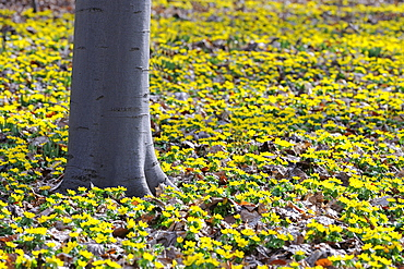 yellow wood anemone or buttercup anemone buttercup anemones with yellow blossoms around beech