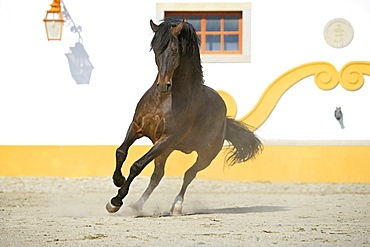 horse Alter Real horse stallion stud Alter Do Chao Portugal Europe