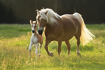 horse Haflinger mare and foal on pasture Pony Park Padenstedt Germany Europe