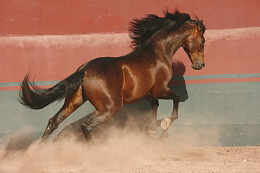 horse Lusitano stallion stud Las Morerias Mexico America