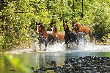 horse Maremmano horse herd nature park of Maremma Tuscany Italy Europe