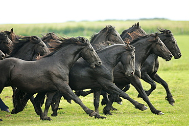 horse Friesian Frisian herd of young stallions on the marsh meadows Netherlands Europe