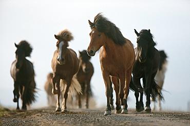 horse Icelandic horse horses at the roadside Iceland Europe
