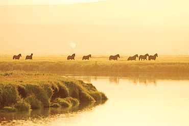 horse Icelandic horse horses herd in the evening evening light Iceland Europe