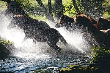 horse Icelandic horse horses herd crossing brook stud Der Wiesenhof Germany Europe
