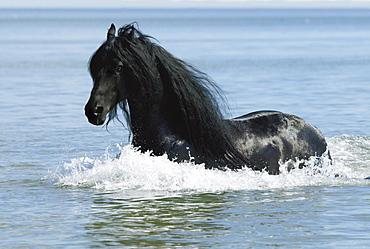 horse Friesian Frisian stallion name: Anne 340 in lake water stud Friesian Dreams USA North America America