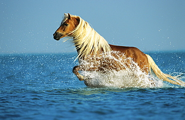 horse Haflinger stallion name: Smudo running in water sea North Sea Pony Park Padenstedt Germany Europe