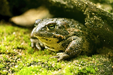 common toad toad in humid hiding place summer Animals