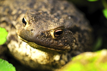 common toad portrait toad in humid hiding place summer Animals