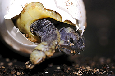 spur-tailed Mediterranean land tortoise young Greek tortoises hatching from egg Animals