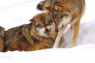 European wolf rank oriented behaviour of wolves rank order Germany Animals