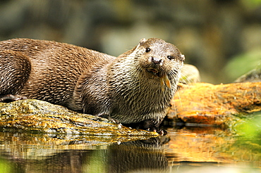 European otter otter fishing at lake in spring Germany Animals