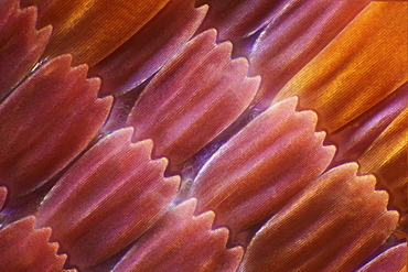 peacock wing scales of peacock butterfly close-up detail microscopy - 869-3649