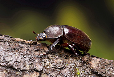 Rhinoceros beetle female Rhinoceros beetle on branch portrait