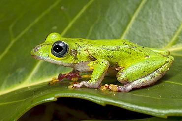 sedge frog reed frog reed frog sitting on leaf portrait