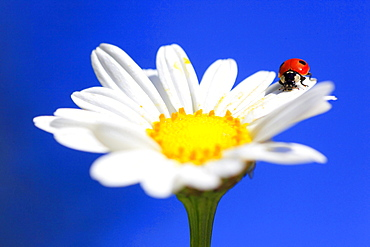 two-spotted ladybird or two-spotted lady beetle ladybird on marguerite blossom close up view portrait