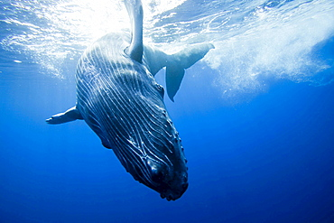 humpback whale whale calf leaves it's mother for a close look at the camera Hawaii