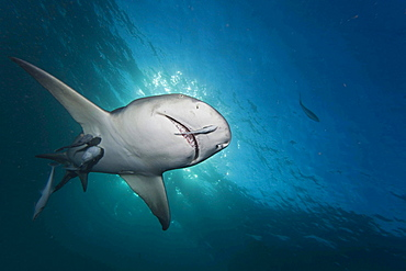 lemon shark late day light and a shark underwater with remoras West End Grand Bahamas Atlantic Ocean