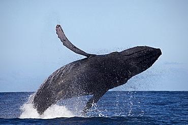 humpback whale Breaching Humpback whale Megaptera novaeangliae Hawaii