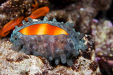 mole cowry cowry with mantle partially covering the shell at night underwater Hawaii