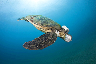 green turtle or green sea turtle This green sea turtle Chelonia mydas has large fibropapilloma tumours covering its head and eyes Soon the tumours will grow to cover both eyes and limit the turtles ability to locate a food source Hawaii