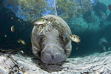 Florida manatee Endangered Florida Manatee Trichechus manatus latirostris at Three Sisters Spring in Crystal River Florida USA The Florida Manatee is a subspecies of the West Indian Manatee