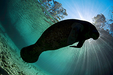 Florida manatee Endangered Florida Manatee Trichechus manatus latirostris silhouetted against the sun at Three Sisters Spring in Crystal River Florida USA The Florida Manatee is a subspecies of the West Indian Manatee