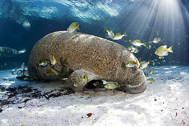 Florida manatee Small fish pick algae of an endangered Florida Manatee Trichechus manatus latirostris at Three Sisters Spring in Crystal River Florida USA The Florida Manatee is a subspecies of the West Indian Manatee